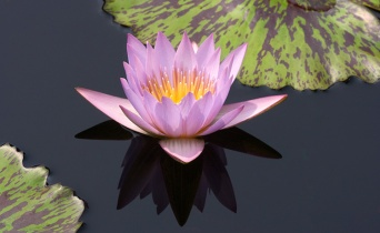 water-lilly-sample-2